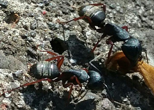 Carpenter Ants 1